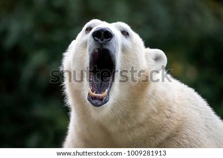 Polar bear close-up Royalty-Free Stock Photo #1009281913