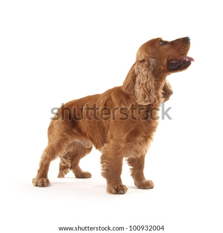 Adorable Cocker Spaniel isolated on white #100932004