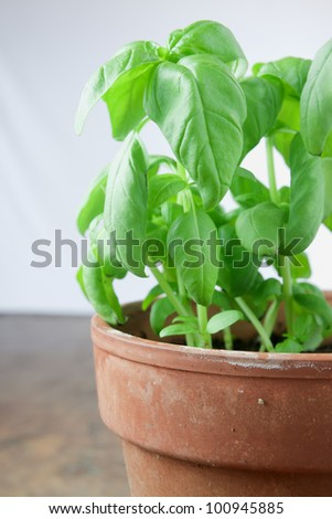 A basil plant on white background #100945885