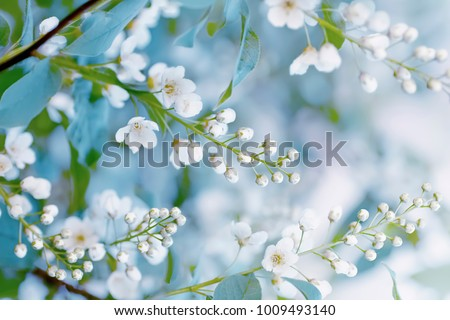 Floral spring background, soft focus. Branches of blossoming bird-cherry (Prunus padus) in spring outdoors macro in vintage light blue pastel colors. Delicate elegant airy artistic image of spring.
