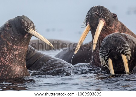 Walrus is a terrible animal with large tusks and fangs. A real beast.