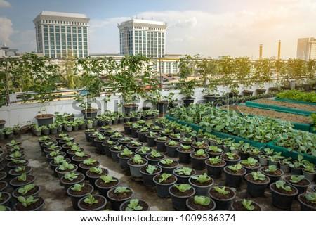 Rooftop garden, Rooftop vegetable garden, Growing vegetables on the rooftop of the building, Agriculture in urban on the rooftop of the building #1009586374