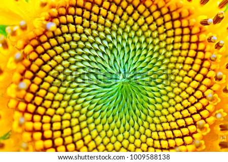 Sun flower in macro #1009588138
