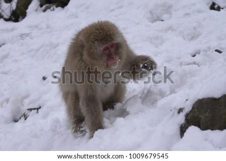 Japan Nagano Prefecture Jigokudani Monkey Park Monkey  #1009679545
