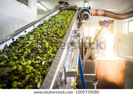 The making of extra virgin Olive Oil in Mola di Bari, Puglia #1009739080