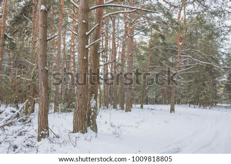 Beautiful winter landscape with big snow in the Pine Forest. Nature in the vicinity of Pruzhany, Brest region. #1009818805