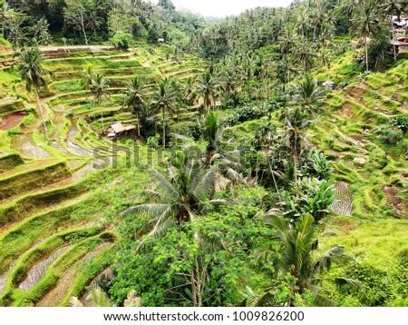 Rice fields in Bali. #1009826200