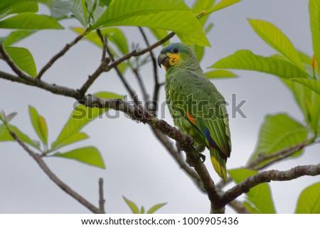 Orange-winged Amazon (Amazona amazonica) - Cuyabeno Wildlife Reserve - Amazonia, Ecuador #1009905436
