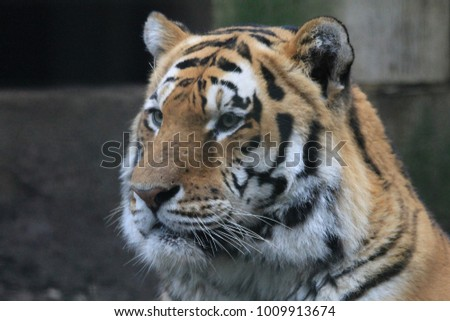 Tiger in Grass and Eating #1009913674