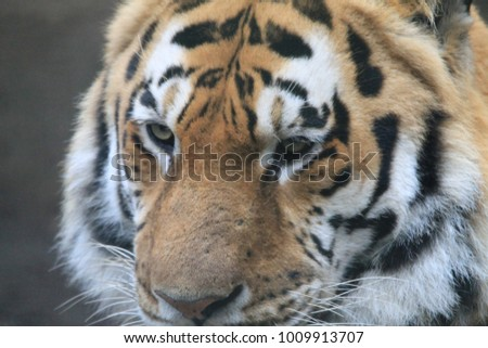 Tiger in Grass and Eating #1009913707