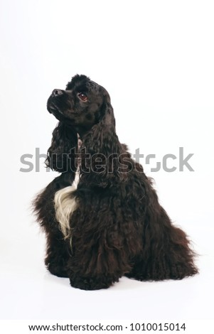 Black American Cocker Spaniel dog with a white chest sitting indoors on a white background #1010015014