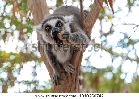 Lemur looking at camera and eating apple. Funny photo of lemur in wildlife. Lemurs are endangered fauna species of Madagascar, Africa.