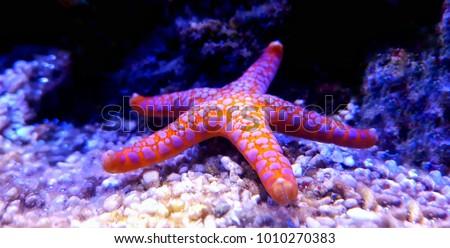 Fromia Monilis starfish Royalty-Free Stock Photo #1010270383