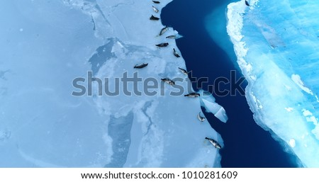 seals on the ice floe in aerial view #1010281609