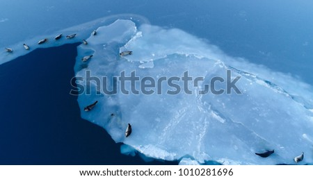 seals on the ice floe in aerial view #1010281696