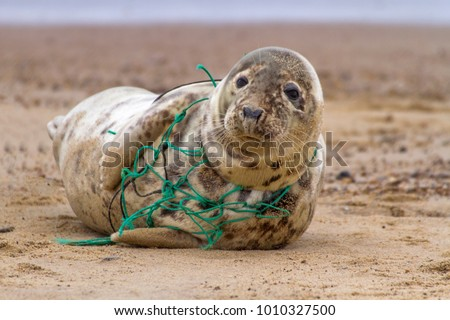 An Atlantic Grey Seal, tragically caught in the remains of a fishing net, rests on Horsey Beach in Norfolk England. These  pictures were used to alert animal welfare services to the seal's plight. #1010327500