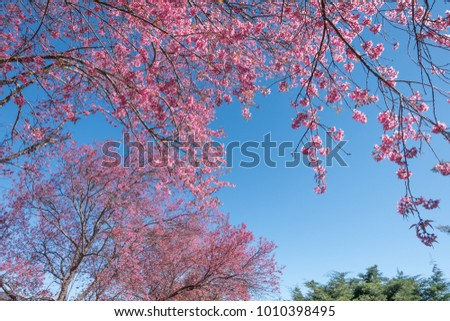 flowers Sakura spring pink blossoms under a pure blue spring sky #1010398495