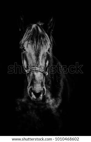 portrait of black horse on a black background