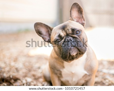 A cute fawn colored French Bulldog #1010721457