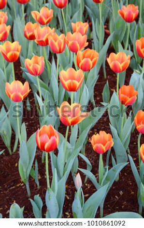 Colorful of tulip flower is natural background #1010861092