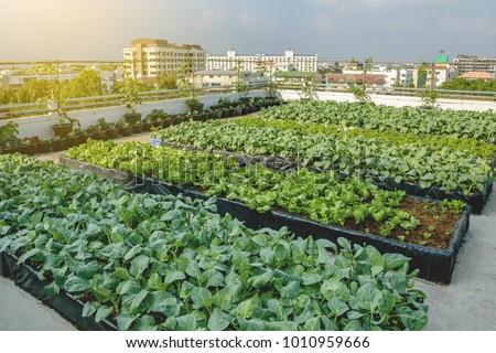 Rooftop garden, Rooftop vegetable garden, Growing vegetables on the rooftop of the building, Agriculture in urban on the rooftop of the building Royalty-Free Stock Photo #1010959666