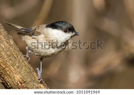 Marsh tit closeup #1011091969