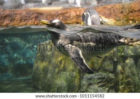 Gentoo penguin (Pygoscelis papua) #1011154582