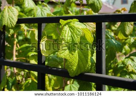 The currant Bush along the fence. #1011186124