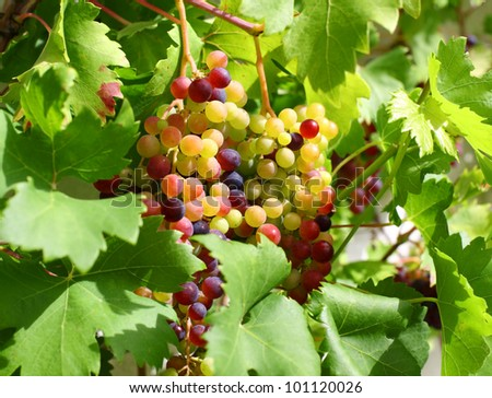 Unripe grapes and vine leaves close up #101120026