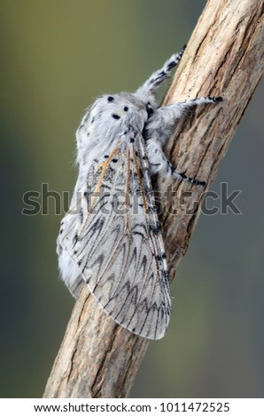 Puss Moth ( Cerura vinula ) in the family Notodontidae. Sitting on a twig with a blurred background. #1011472525