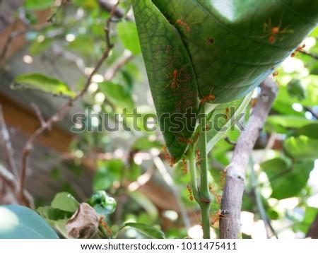 Red ant nest on lemon tree #1011475411