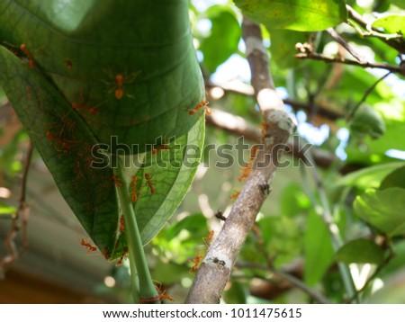 Red ant nest on lemon tree #1011475615