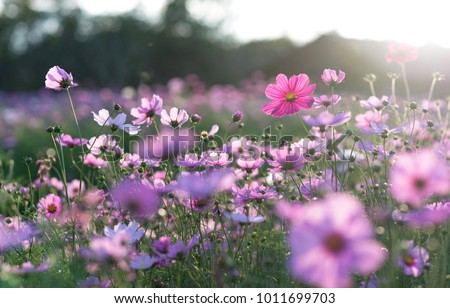 Field of cosmos flower #1011699703