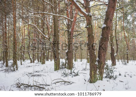 Beautiful winter landscape with big snow in the Pine Forest. Nature in the vicinity of Pruzhany, Brest region,Belarus. #1011786979
