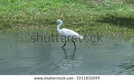 Little Egret walking in a pond #1011850099