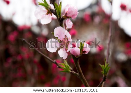 Red plum blossoms in the spring season