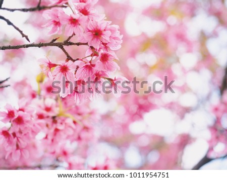 Wild Himalayan Cherry Flower, Pink flowers bloom and blurred behind, with sunlight and blurry background at Phu Lom Lo, Loei Province, Thailand #1011954751