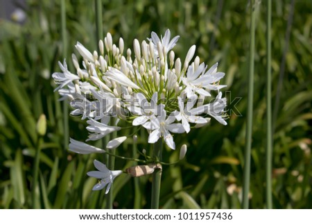 Stately  snow white  agapanthus Lily of the Nile  genus in  subfamily Agapanthoideae of plant family Amaryllidaceae contrasted against   the long green leaves is a popular  feature plant . #1011957436
