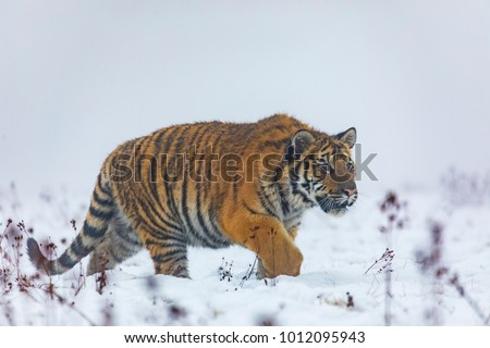 siberian tiger on snow in action, Panthera tigris altaica #1012095943