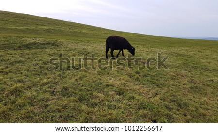 Black sheep on the Malvern Hills #1012256647