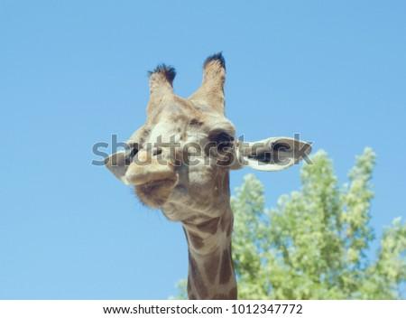 Portrait of a giraffe against blues sky #1012347772