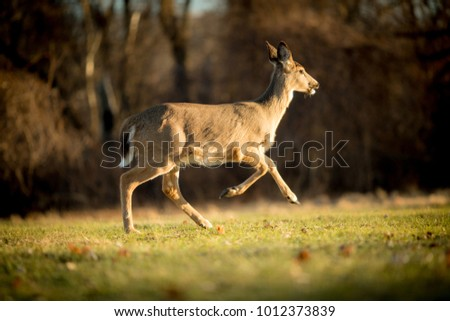 White tailed deer running through a grassy meadow during sunset. #1012373839