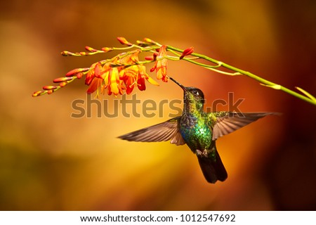 Fiery-throated Hummingbird, Panterpe insignis, shiny colour bird in fly. Bird drinks from crocosmia. Wildlife flight action scene from tropic forest. Mountain bright animal from Costa Rica #1012547692