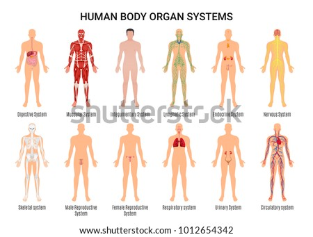 Main 12 human body organ systems flat educative anatomy physiology front back view flashcards poster vector illustration  Royalty-Free Stock Photo #1012654342