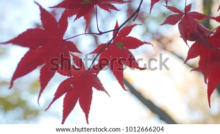 Red Japanese Maple leaves #1012666204