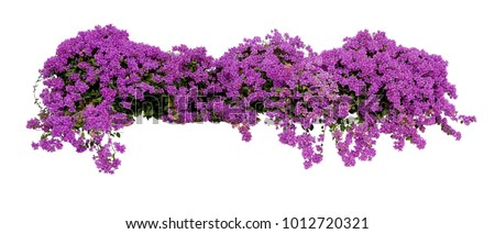Large flowering spreading shrub of purple Bougainvillea (paper flower) tropical flower climber vine landscape plant isolated on white background, clipping path included. #1012720321