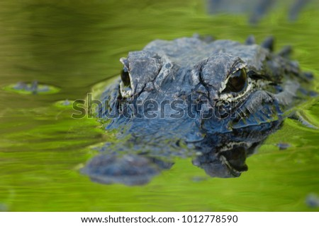 American alligator (Alligator mississippiensis) #1012778590