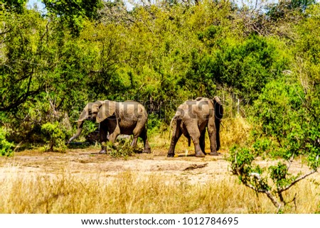 Elephants at Olifantdrinkgat, near Skukuza Rest Camp, in Kruger National Park in South Africa. One of the two urinating after having drank too much water #1012784695