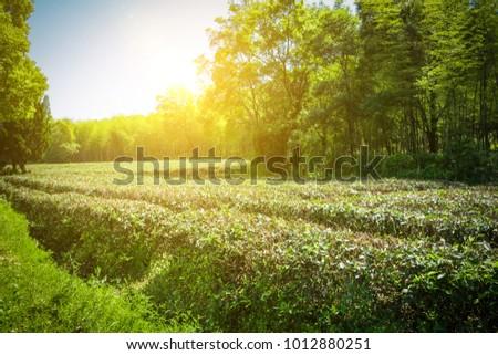 Green tea garden, hill cultivation #1012880251
