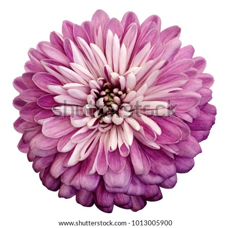 Chrysanthemum pink  flower. On white isolated background with clipping path.  Closeup no shadows. Garden  flower.  Nature. #1013005900
